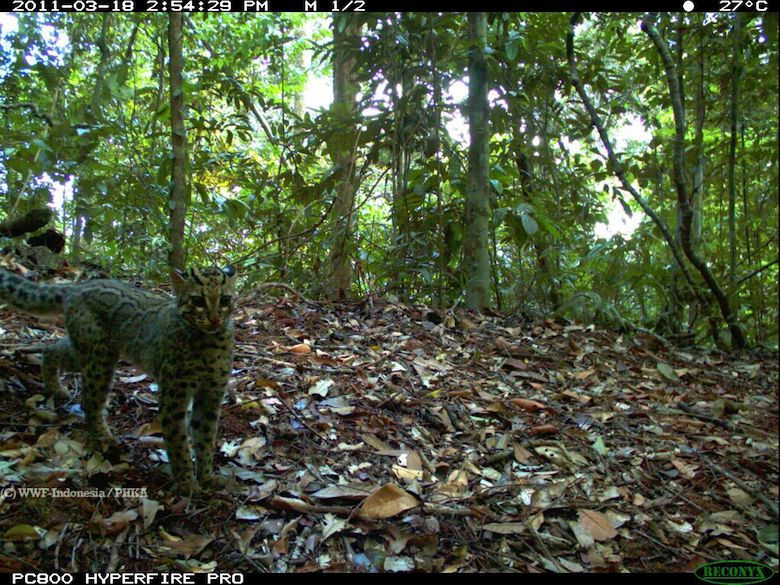 A marbled cat, seemingly aware of the camera trap taking its photo. Photo credit: WWF-Indonesia/PHKA.