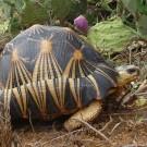 当地力量和国际组织联手拯救马达加斯加辐射陆龟